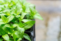 Plants growing. Little plants growing, organic vegetables Royalty Free Stock Image