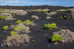 Plants growing on the nutrient-poor soil of volcano Royalty Free Stock Photo