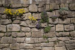 Plants growing in old stone wall royalty free stock image