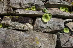 Plants growing in the old wall. Little plants growing in a wall made of old stones Royalty Free Stock Image