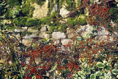 Plants Growing Over a Stone Wall, England Royalty Free Stock Photo