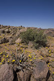 Plants growing in the Richtersveld, South Africa. Royalty Free Stock Image