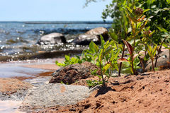 Plants Growing on Rocky Beach. A close up of some young green Milkweed plants growing up through the sand on a rocky beach on the shore of Lake Superior Royalty Free Stock Image