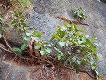 Plants Growing on Sandstone Cliff Royalty Free Stock Images