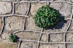 Plants growing on a stone wall Royalty Free Stock Photo