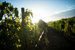 Plants growing at vineyard against blue sky Royalty Free Stock Photography