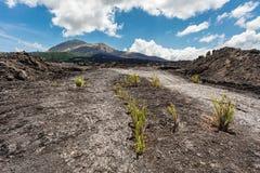 Plants growing through volcanic lava at Mount Batur, Bali Island, Indonesia Stock Photography