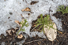 Plants growing wiht melting ice. Leaves and Plants growing wiht melting ice on spring day Royalty Free Stock Photography