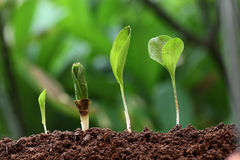 Plants growth-New life. Plants growing from soil-New life Royalty Free Stock Photography