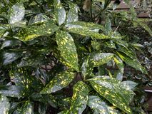 Closeup of variegated green and yellow houseplants, in outdoor display in natural light stock photo