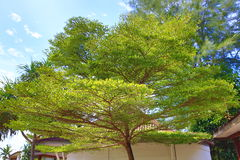 Plants in the hotel area, palma, Phra Ae Beach, Ko Lanta, Thailand. A Picture of the trees in the hotel area, Phra Ae Beach, Ko Lanta, Thailand royalty free stock images