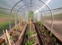 Plants in hothouse. Seedings tomato, cucumber and pepper in hothouse Stock Photography