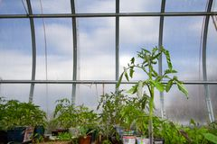 Plants in hothouse. Hotbed with plants. And tomato plant at first plane Royalty Free Stock Photo