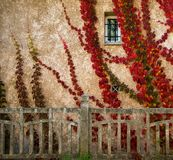 Plants on house wall Royalty Free Stock Image