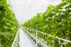 Plants in hydroponic greenhouse. System Royalty Free Stock Images