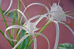 Plants -  Hymenocallis littoris - Flowers - Spider Lily  Royalty Free Stock Photography