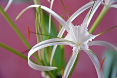 Plants -  Hymenocallis littoris - Flowers - Spider Lily  Royalty Free Stock Images