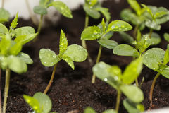 Free Plants In Nursery Tray. Royalty Free Stock Photography - 87285447