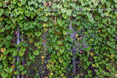 Plants on iron fence Royalty Free Stock Photography