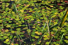 Plants in the lake water Stock Images