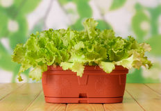 Plants of lettuce in pot Royalty Free Stock Photo