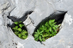 Plants in limestone hole Royalty Free Stock Photo