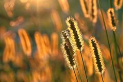 Plants on a meadow at sunrise. Wild plants on a meadow in the magical light of the rising sun Stock Images