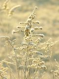 Plants on a meadow at winter sunrise Royalty Free Stock Photo