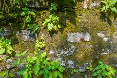 Plants and moss growth on the old wall. Bangkok, Thailand royalty free stock photography