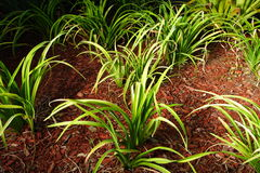 Plants In Mulch. Green plants planted in mulch Stock Images