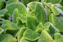 Plants. Name is Episcia cupreata Royalty Free Stock Photos