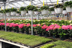 Plants in a nursery. Seedlings and hanging baskets for summer sale...Hydrangias (Hortensia) are ready for Mother's Day Royalty Free Stock Photo