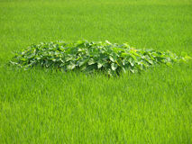 Plants in paddy feild. The nice close up of big large leaf plant is in the middle of the paddy field in nice greenish background Stock Photography