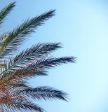 Plants of a palm tree. In a blue sky,in a summer day of august Stock Photography