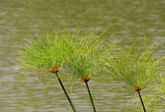 Plants of papyrus Royalty Free Stock Images