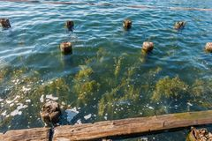 Plants And Pilings. Plants grow up near old pilings at Gene Coulon Park in Renton, Washington Royalty Free Stock Photography