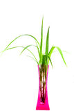Plants in a pink vase isolated on white backgroung. Cool Royalty Free Stock Photography