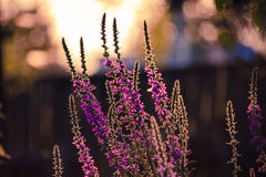 Beautiful wild flants in the forest after rain and sunset. The plant is in the sun at sunset Stock Photos