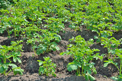 Plants of potato Royalty Free Stock Photography