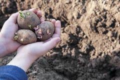 Plants potatoes for new season Royalty Free Stock Photo