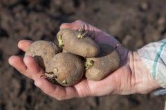 Plants potatoes for new season Royalty Free Stock Image