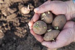 Plants potatoes for new season Royalty Free Stock Photos