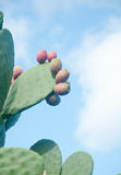 Plants of prickly pear, a fruit typical of southern Italy Stock Image