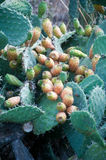 Plants of prickly pears in Calabria Stock Image