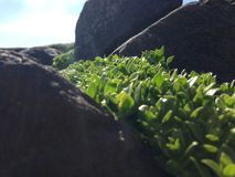 Plants between rocks. Generic plants that live on the rocks by the sea Stock Images