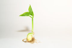 Plants are rooted on a white background Royalty Free Stock Image