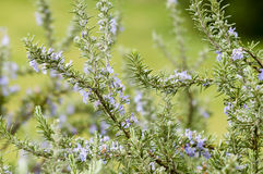 Plants of Rosemary Royalty Free Stock Photos