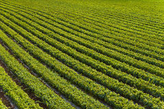 Plants in a row. Agricultural field with rows of plants Stock Photo