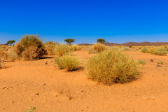Plants in the Sahara desert. Green plants in the Sahara desert, Morocco royalty free stock photography