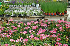 Plants for sale at a greenhouse. Image of plants for sale at a greenhouse Royalty Free Stock Photography